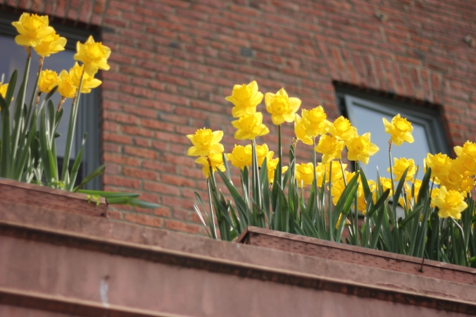 Daffodils and Brick